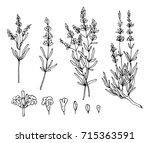 lavender sketch vector set | Shutterstock .eps vector #715363591