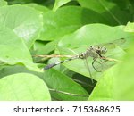 Stock photo  dragonflies all about dragonflies beautiful dragonfly double dragonfly dragon flies meaning 715368625