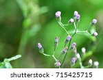 vernonia cinerea  little... | Shutterstock . vector #715425715