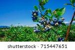 blueberries farm in harvest... | Shutterstock . vector #715447651