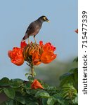 Small photo of Black myna or starling bird on orange tulip tree or spathodea campanulate flower