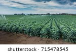 a field of brussels sprouts... | Shutterstock . vector #715478545
