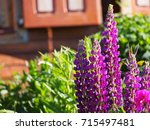 blooming lupin  lupine  lupinus ... | Shutterstock . vector #715497481