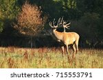 red deer male blows deep during ...   Shutterstock . vector #715553791