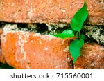 Small photo of The tree is germinating on old red brick wall