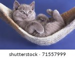 Stock photo sleeping kitten in a hammock 71557999