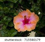 orange suffused with carmine...   Shutterstock . vector #715580179