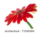 water drops on red gerbera... | Shutterstock . vector #71560384