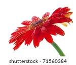 water drops on red gerbera... | Shutterstock . vector #71560384
