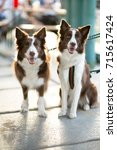 two beautiful border collie dogs   Shutterstock . vector #715617424