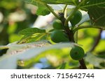 fruit unripe figs on the tree | Shutterstock . vector #715642744