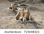 Prairie dogs out of their holes watching potential predators