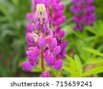 blooming lupin  lupine  lupinus ... | Shutterstock . vector #715659241