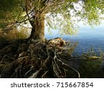 old tree with roots above the... | Shutterstock . vector #715667854