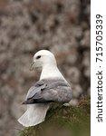 northern fulmar  fulmarus... | Shutterstock . vector #715705339