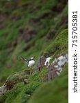 atlantic puffin  fratercula... | Shutterstock . vector #715705381