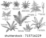 fern collection illustration ... | Shutterstock .eps vector #715716229
