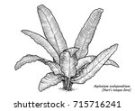 hart s tongue fern illustration ... | Shutterstock .eps vector #715716241