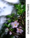 Small photo of Thai adenium flower