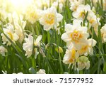 Daffodils In The Field