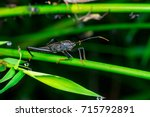 Small photo of Male black Leaf Footed Bug, squash bug, clown bug, tip-wilter (Arthropoda: Insecta: Hemiptera: Coreidae: Acanthocephala terminalis) with orange black antenna crawling on a green leaf and stem