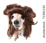 Small Chihuahua In A Funny Wig...