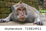 Macaque Monkey Portrait   Whic...
