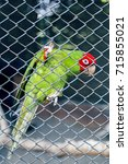 Small photo of Bird in zoo looking through the wire mesh, Psittacidae eupatria, Alexandrine Parakeet. Beautiful Parrot.
