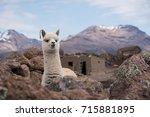 Cute Llama Alpaca Portrait...