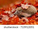 european hedgehog  erinaceus... | Shutterstock . vector #715912051