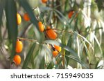 branch of sea buckthorn berries ... | Shutterstock . vector #715949035