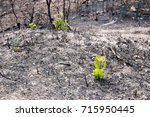 Small photo of Young scrub oaks emerge from the ashes of a forest fire
