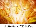 Soft Dandelion Flower  Extreme...