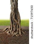 Closeup Of Banyan Tree Trunk...