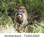 Closeup Of Wild Raccoon  ...