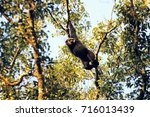 Small photo of Agile Gibbon or Black-handed Gibbon (Hylobates agilis) hanging on a big tree from Hala-Bala Wildlife Sanctuary in Thailand. It is found in Sumatra, Malaysia, and southern Thailand.