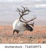 big caribou in alaska tundra | Shutterstock . vector #716018971