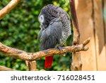 african grey parrot nuzzles... | Shutterstock . vector #716028451