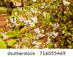 branches with white flowers in... | Shutterstock . vector #716055469