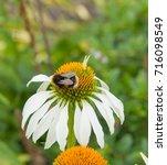 Bumblebee  Bombus Hortorum ...