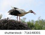 white stork in his nest   Shutterstock . vector #716148301