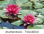 Two Purple Water Lilies And...