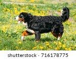 farm dog bernese mountain dog... | Shutterstock . vector #716178775