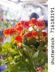 Small photo of Kalanchoe blossfeldiana Crassulaceae kalanchoe Orange flowers