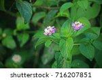 Pink Lantana Flower Clusters