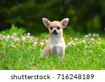 chihuahua | Shutterstock . vector #716248189