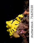 Small photo of Yellow dorid nudibranch (Aegires minor) clinging to the reef wall