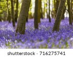 Bluebells  Hyacinthoides Non...
