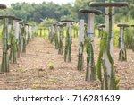 plantation of dragon fruit or... | Shutterstock . vector #716281639