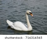 White Swan In The Lake.